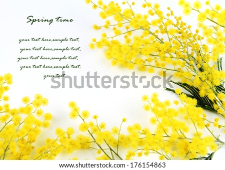 Branches of mimosa - stock photo