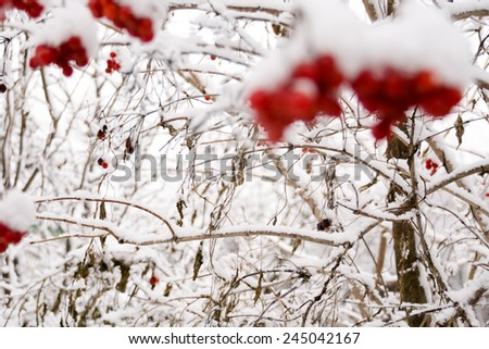 Branches of mountain ash, rowan tree in snow, white background. - stock photo