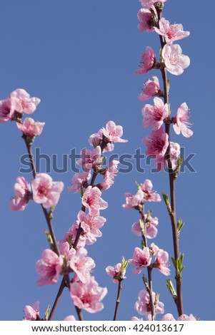 Branches of peach tree with flowers - stock photo