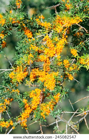 Branches of sea buckthorn with juicy berries (also known as Hippophae rhamnoides or Sallow Thorn) - stock photo