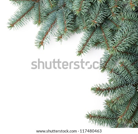 Branches of silver spruce on white background. Copy space - stock photo