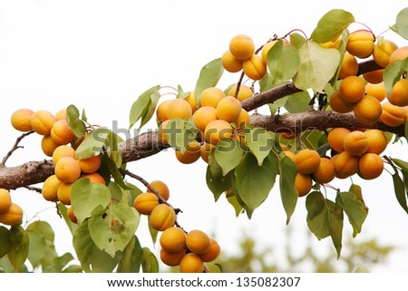 branches of the thee with apricots - stock photo
