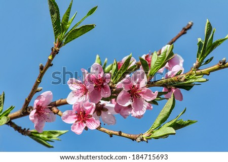 Branches with beautiful pink peach flowers bloom in spring against the blue sky - stock photo