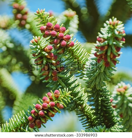 Branchlet of Spanish Fir (Abies pinsapo) with Red Cones - stock photo