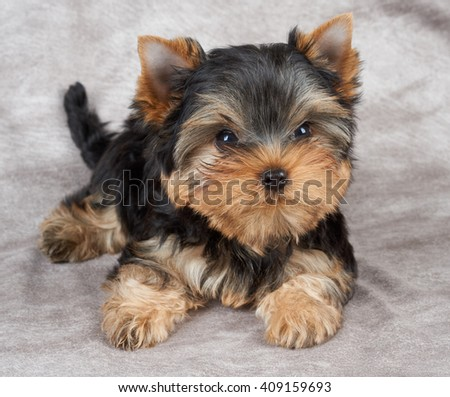 Brave puppy of the Yorkshire Terrier on beige fabric - stock photo