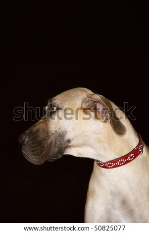 Brazilian mastiff (Fila brasileiro), close-up - stock photo