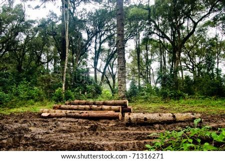 Brazilian pine trunks (Araucaria angustifolia - Araucariaceae) in mud on a rainy day. - stock photo