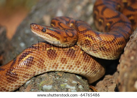 Brazilian Rainbow Boa - stock photo