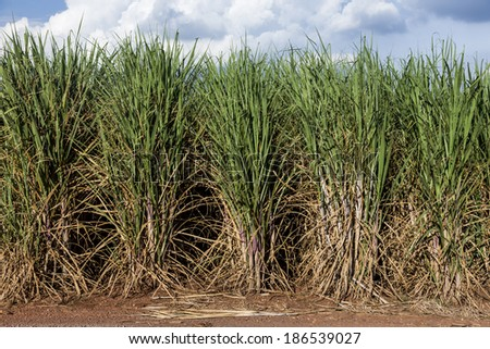 Brazilian Sugar cane fields under a blue sky. - stock photo