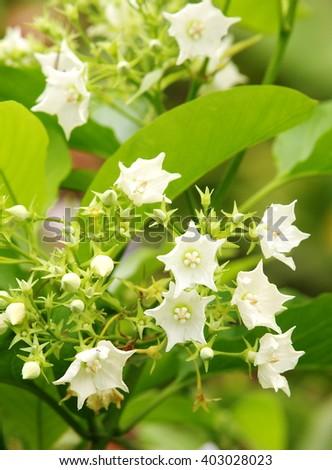 Bread Flower, Vallaris globra Ktze, white fragrant, aromatic exotic tropical aroma flower with green bokeh background - stock photo