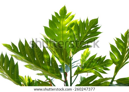 Bread fruit leaf in the spring time - stock photo