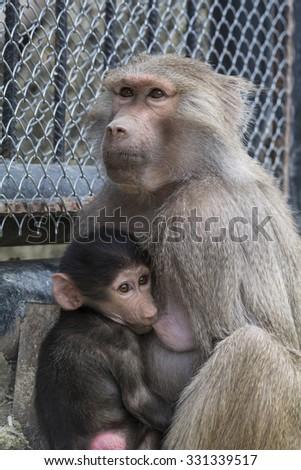 breast feeding little cub - stock photo