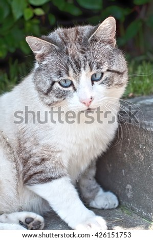 breed cat with blue eyes - stock photo