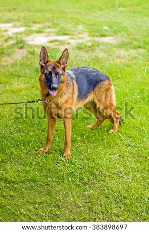 breed of german shepherd poses on grass floor, dog in the park - stock photo