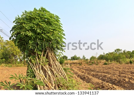 breeder sapling of cassava or manioc plant in the field. - stock photo
