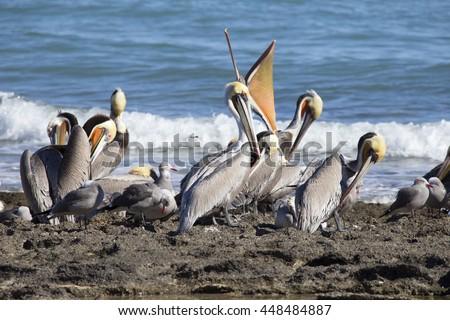 Breeding colony of brown pelicans, Baja, California - stock photo