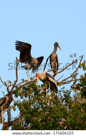 breeding colony of Painted Stork (Mycteria leucocephala) in Thai forest - stock photo