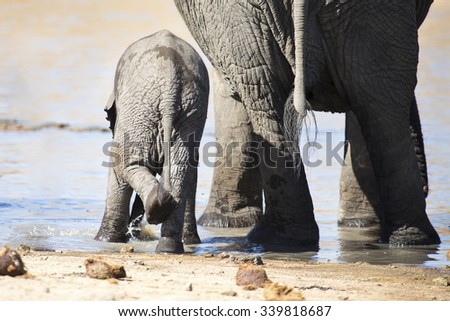 Breeding herd of elephant drinking water at a small pond - stock photo