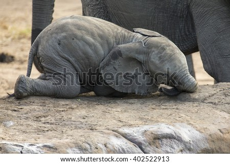 Breeding herd of elephant drinking water at small pond - stock photo