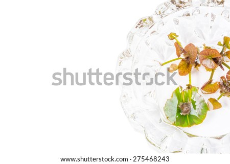 Breeding lotus from budding lotus leaf set on glass dish with white background for text input. - stock photo