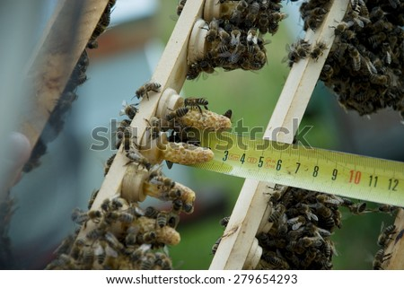 Breeding queen bees - stock photo