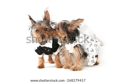 Bridal Couple Yorkshire Terrier Puppies on White Background - stock photo