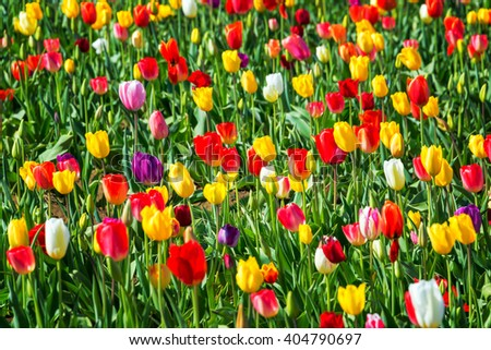 Bright and colorful tulips in Woodburn, Oregon - stock photo