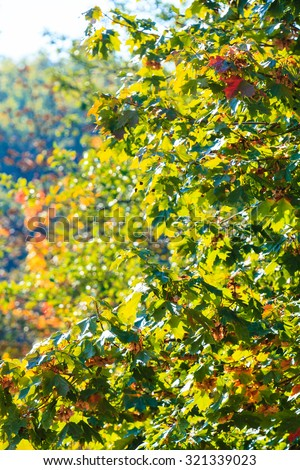Bright autumn leaves in the natural environment. Fall trees yellow orange nature background - stock photo