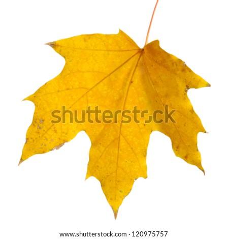 bright autumn maple leaf, isolated on white - stock photo