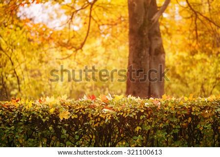 bright autumn maple leaves on bush, fall theme photo - stock photo