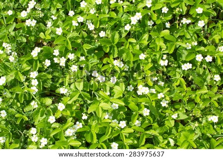 bright background of blooming strawberry fields - stock photo