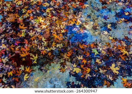 Bright Beautiful Fall Foliage Floating in a Clear Creek from Stunning Maple Trees in Lost Maples State Park, Texas. - stock photo
