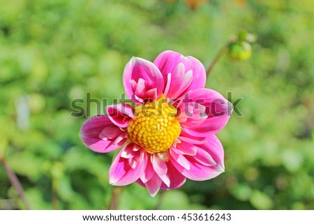 Bright Beautiful Pink Chrysanthemum Flower with Yellow Center with Green Garden on the Background, Isolated Single Bloom - stock photo