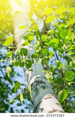 Bright birch branches in the sunlight - stock photo