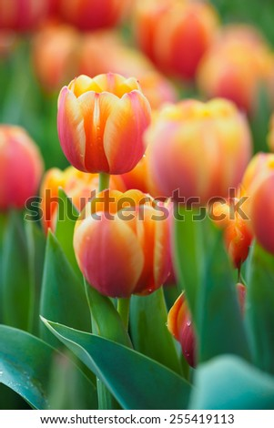 Bright Blooming orange Tulips Growing In Spring Garden  - stock photo