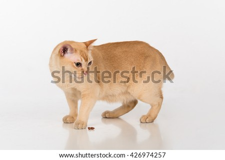 Bright Brown Burmese cat with food. White background with reflection. - stock photo