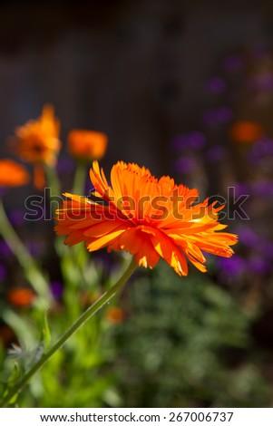 Bright calendula flower on flowerbed in garden - stock photo