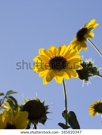 Bright  circular sunflower Helianthus annuus  inflorescence  with rough hairy stems and leaves blooming in early autumn adds a touch of brilliant yellow to the landscape. - stock photo