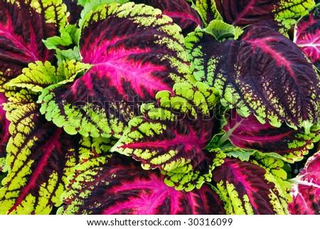 bright coleus foliage - stock photo