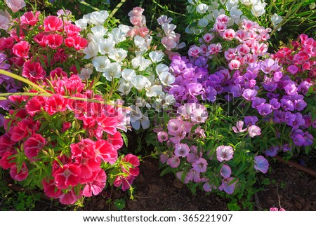Bright colored flowers, pink, white, violet, in shallow DOF on sunlight - stock photo