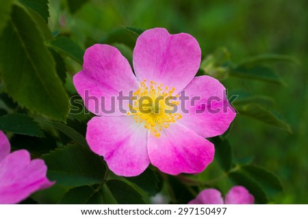 Bright, colorful flower wild rose with pink petals and yellow center closeup.On the green blurred background.