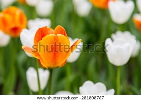 bright colorful flowers tulips for background, posters, cards - stock photo