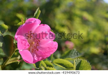 Bright colorful wild rose flower with pink petals on green blurred background at sunny day - stock photo