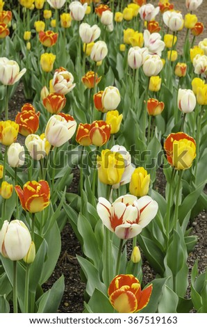 Bright colors of spring: Hybrid tulips in an ornamental garden, early May in Illinois, for illustration and backgrounds with seasonal or horticultural motifs (selective focus) - stock photo