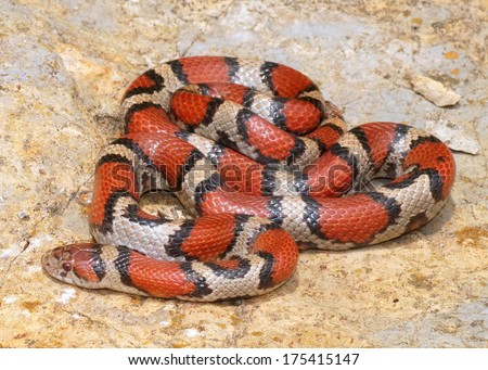 Bright Coral Snake colors - Lampropeltis triangulum syspila with its head poised to strike  - stock photo