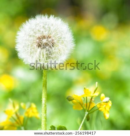 bright dandelion on green. spring season - stock photo