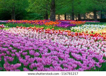 Bright flowerbed in Keukenhof - famous Holland spring flower park - stock photo