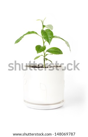 Bright fresh sprout of lemon (Isolated on white) - stock photo