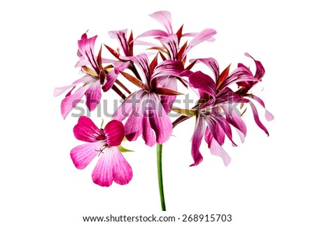 Bright Geranium Flower - stock photo