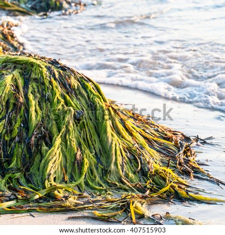 Bright green and brown seaweed piled up on sandy beach; Coastal pollution by algae and seagrass; Plague of algae - stock photo